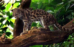 500px-Margaykat_Leopardus_wiedii